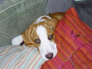 Indy  12 veckor gammal lägger sig till ro bland kuddarna för att sova.