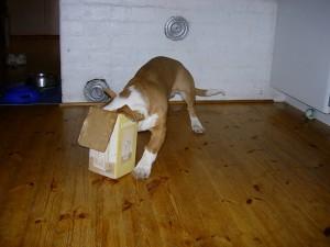 Indys nya favoritleksak – en låda som han stoppar ner huvudet i och sedan springer tills någon möbel eller vägg tar emot...
