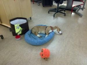 Tillslut somnade Indy brevid mitt skrivbord.