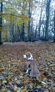Indy pausar i den höstvackra skogen under promenaden.