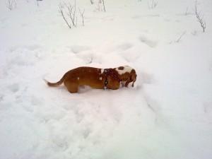Indy letar godis i snön — han har blivit en riktig hejare på den här leken.