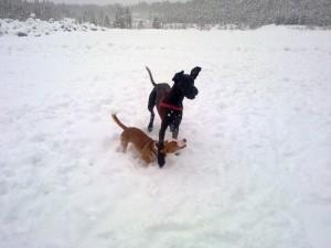 Kompisen Mandi dök upp till Indys stora glädje. Hon rör sig lite lättare i snön men Indy hänger med ovanligt bra för sina korta ben!